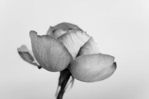 Rose Noir  #01