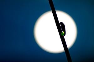 満月とゲンジボタル
