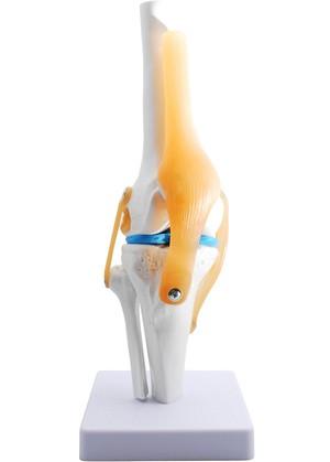 ひざ関節模型 関節模型 膝関節 靭帯 半月板 医学 教材 モデル