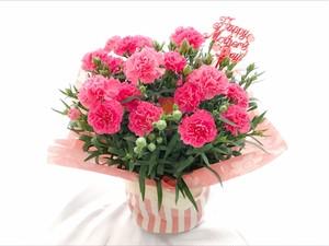 【母の日】カーネーション5号鉢(ピンク)〈生花〉