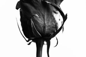 Rose Noir  #03