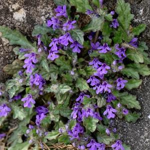 産直花の苗 アジュガ ピグメア (ヒメキランソウ) Ajuga pygmaea