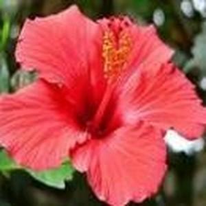 ハイビスカス[Hibiscus]