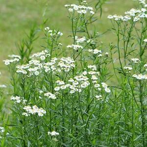 宿根草 アキレア ホワイト 10.5cmポット植え