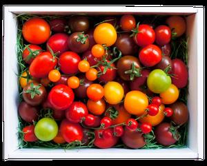 <25日19時~ 受付開始>カラフルトマトの宝石箱☆約10種類のトマトの詰め合わせ