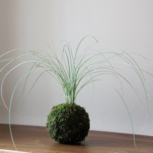 苔玉 斑入り書帯草