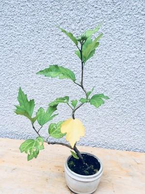 ミニ盆栽 ムクゲ