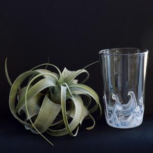 エアープランツ とらガラスとキセログラフィカのセット キセロSサイズ&ハイウェーブグラス(白波グラス・タンブラー)の組み合わせ ティランジア NO.011