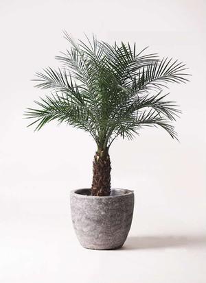 観葉植物 フェニックスロベレニー 8号 アビスソニアミドル 灰 付き