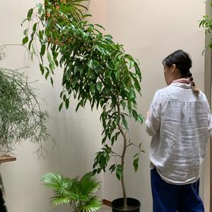【都内近郊専売】フィカス・ストリクタ-1 植物のみ(ナーセリーポット黒)