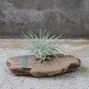 DRIFTWOOD TILLANDSIA -Color-