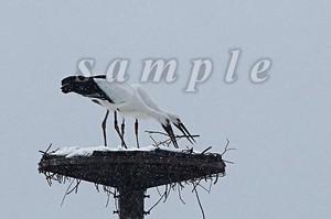 コウノトリ写真(ダウンロード)「雪中の共同作業」
