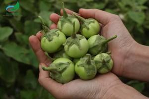 Cà pháo Tươi(1kg) - ベトナムのナス-Solanum macrocarpon