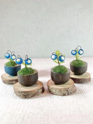 トリコトリ ホシコケモモの鉢植え