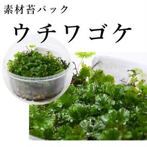 ウチワゴケ(シダ植物) 苔テラリウム作製用素材苔