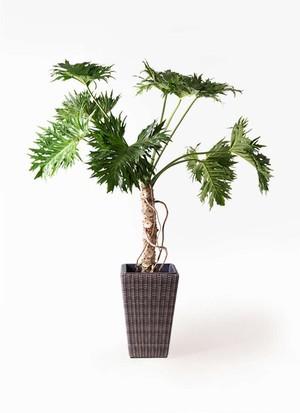 観葉植物 セローム ヒトデカズラ 8号 根あがり ウィッカーポット スクエアロング OT 茶 付き