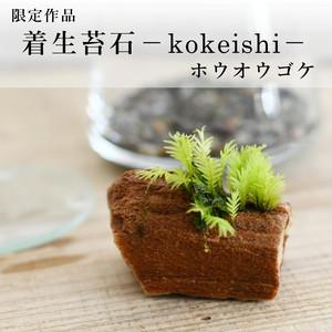 【現物販売】着生苔石ホウオウゴケ ◆栽培容器付