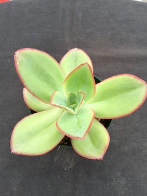 koehres種子発芽苗 subrigida, Pinal de Amoles(少々シミあり)