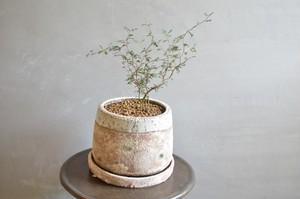 ソフォラ 鉢植え