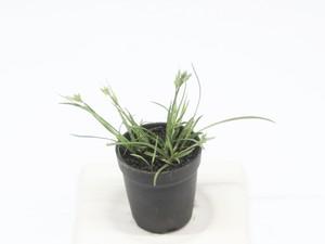 メアオスゲ《苔テラリウム・コケリウム用観葉植物》