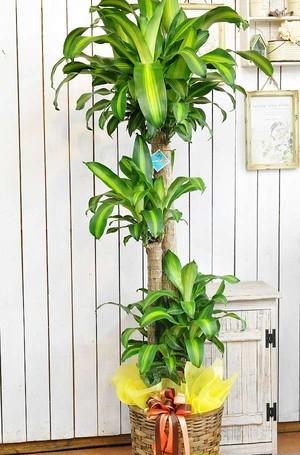 I0155) 観葉植物 マッサン (幸福の木)