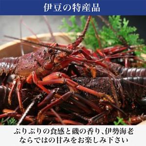 【カターラ】活け伊勢海老(2~5本)