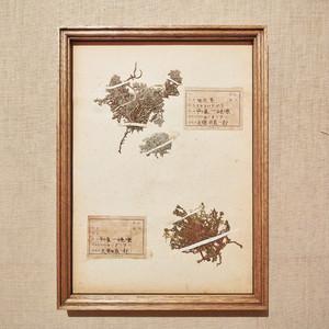 植物標本 フレーム 1929 vintage 18MAR-VSH22