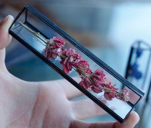 植物標本:ドライフラワー『デルフィニウム ピンク』