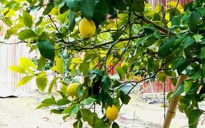 しっかりレモン 80g