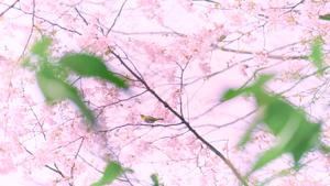 クマノザクラ__Kumanozakura_06