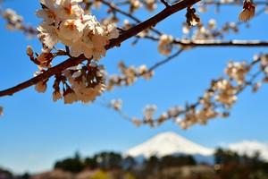 河口湖の桜とうっすら富士山 02