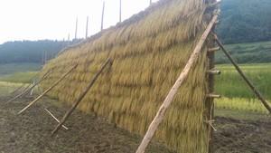 10kg白米 コシヒカリ自然栽培米はさがけ