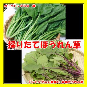 【採りたて】ほうれん草(緑&赤)2kg 【送料無料】