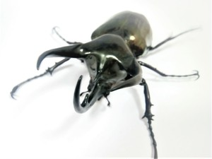 マレーコーカサス 幼虫3匹