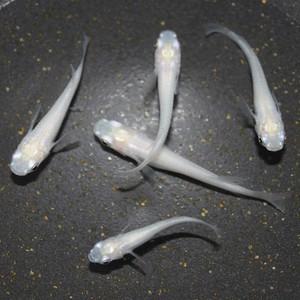 ピュアホワイト メダカ稚魚10匹