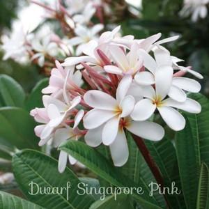 Dwarf Singapore Pink