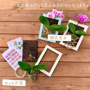 着生胡蝶蘭 作成キット&花芽付き苗(椎名洋ラン園)
