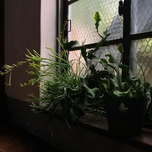 ハンギング植物2点セット リプサリス&エピフィルム