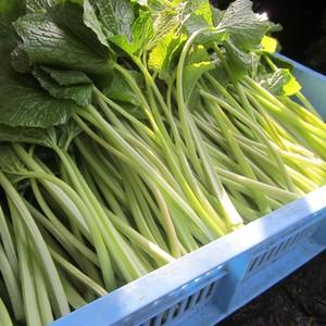 葉わさび2㎏【農家の醤油漬レシピ付き】