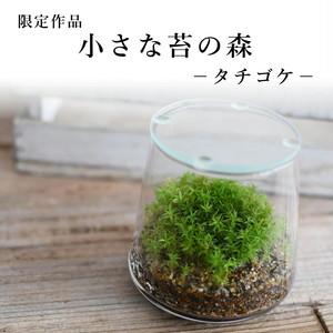 小さな苔の森−タチゴケ− 2021.6.27#7【苔テラリウム・現物限定販売】