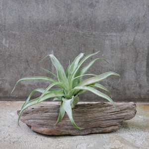 DRIFTWOOD TILLANDSIA -Natural-