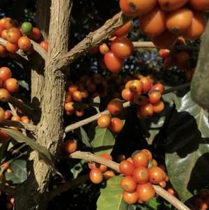 【オレンジブルボン種】エルサルバドル ラ・ディビナ プロヴィデンシア オレンジブルボン ナチュラル 2020