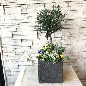 オリーブと冬の小花を使ったギャザリング寄せ植え