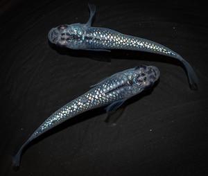 *伊香保FF スタッフおすすめ* オーロラブラックラメ 背びれなし 若魚(2020年産まれ) オス1 メス1 (現物出品) ikahoff D-0303-7541-a