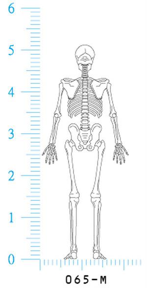 骨格図 背面 体型無し 065M