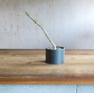 Euphorbia milii hyb + Iron pot(S)