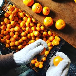 ネーブルオレンジ1kg+熟成みかん5kgセット