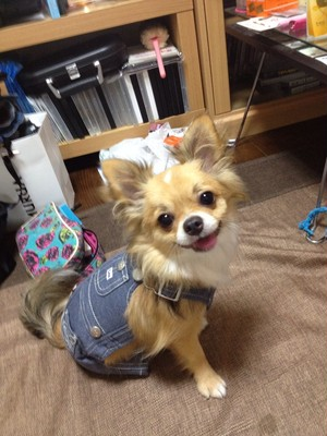非売品 モデル犬 BIGGY店長