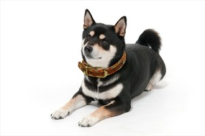 【JEXT】京都西陣織 犬の首輪 本革 首周り40~50cm 麻の葉