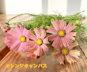 季節限定!秋の花はやっぱり秋桜(コスモス)! 色々な品種から選べます 20本 ★送料無料